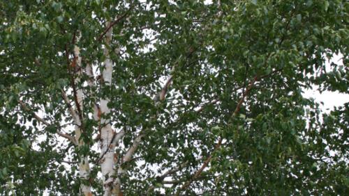 Flyt op i et Birketræ?