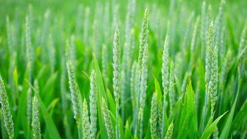 Liebe wächst wie Weizen