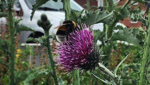 Lad dine tidsler stå i haven, så de kan blomstre til gavn for humlebierne