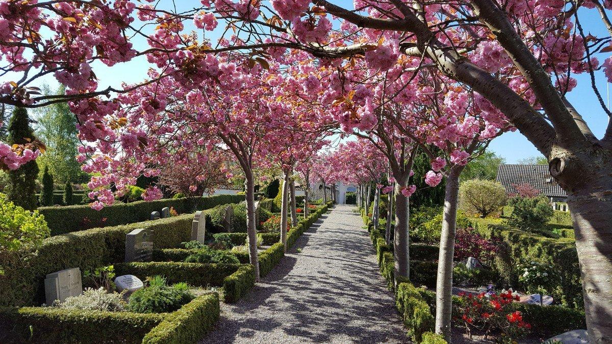 Kirsebærallé på Onsbjerg Kirkegård