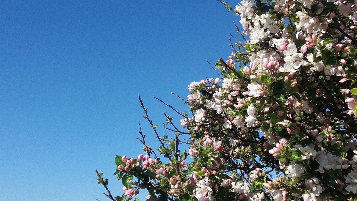 Blomstrende æbletræ ved Sælvigbugten