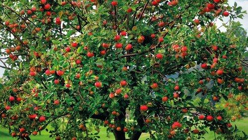 Apfelbaum mit Bezugsadresse