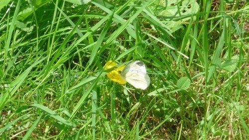 Geschichten von Gott und der Welt (15): Von Zitronenfaltern und anderen Schmetterlingen (Kopie)