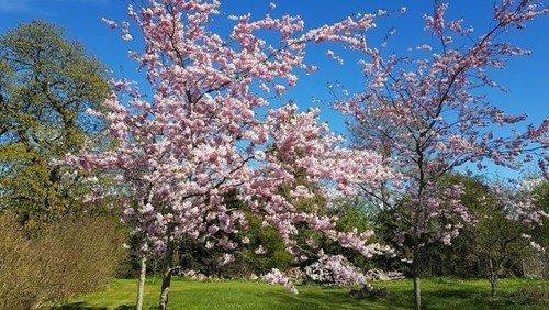 Kirsebærtræerne blomstrer