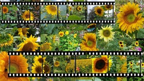 Fotogalerie Sonnenblumen-Aktion