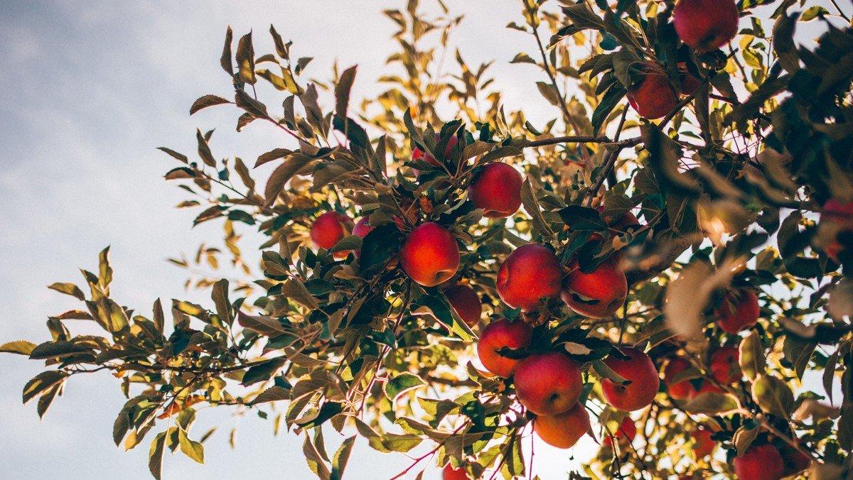 Æblets dag - Familiegudstjeneste og æblefest