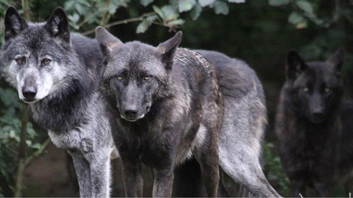 Tirsdagshøjskole: Ulven i Danmark - biolog fra Givskud Zoo