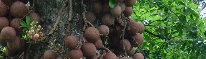 Ingen havde hørt om, at tempeltræerne kunne bære frugt