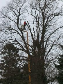 lindetræer fældes