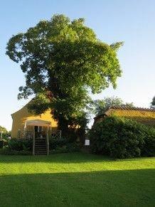 Ahorntræet ved terrassen
