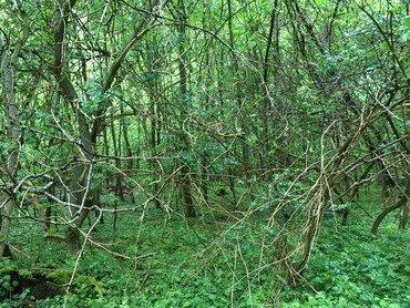 Billede af skov og krat, udelukkende grønne farver.