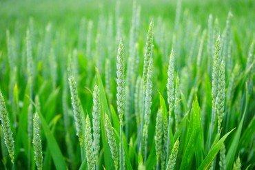 """""""Liebe wächst wie Weizen und ihr Halm ist grün"""""""