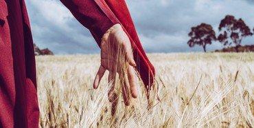 Ruth forsørger sig selv og sin svigermor ved at samle kornaks på Boaz' mark. Foto: Unsplash.