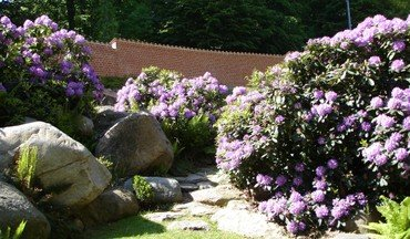 Rododendron bed i blomst