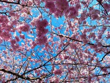 Billede taget op i en trækron med lyserøde blomster