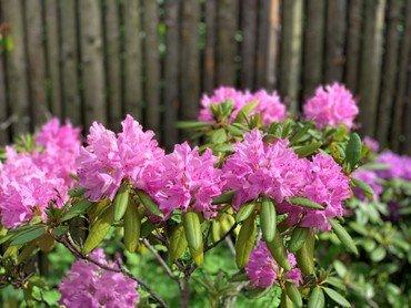 Billedlink af kirkehavens rododendron - læs mere om de seneste lempelser